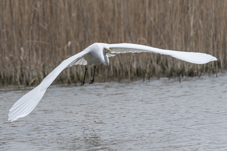 Seagull flying over a water