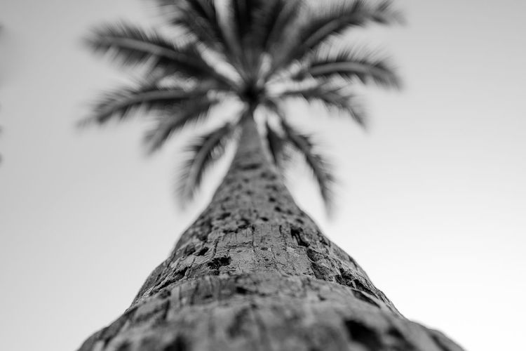 EyeEm Gallery Holiday Nature Nature Photography Palm Palm Leaf Palm Tree Black And White Blackandwhite Clear Sky Close-up Day Eye4photography  Lookingup Low Angle View Nature Nature_collection No People Outdoors Palm Tree Palm Trees Selective Focus Sky Tree Tree Trunk Summer Exploratorium