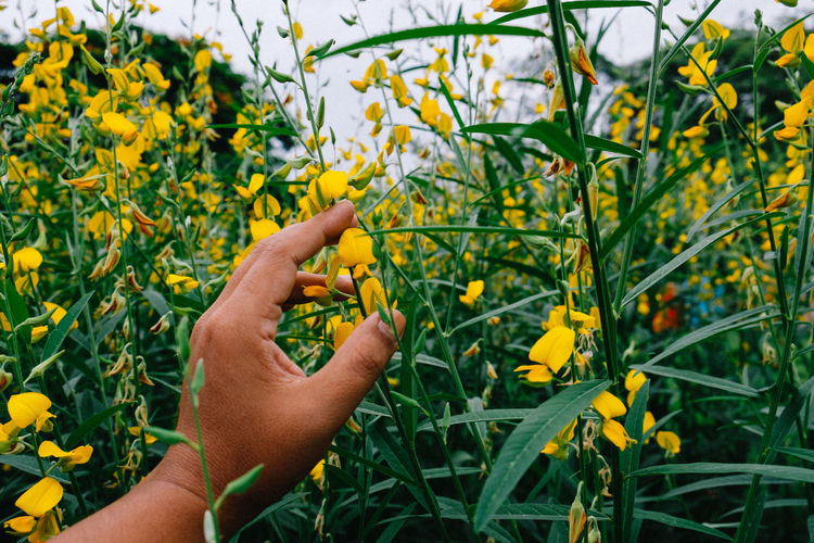 Cropped hand touching yellow flowers blooming on field