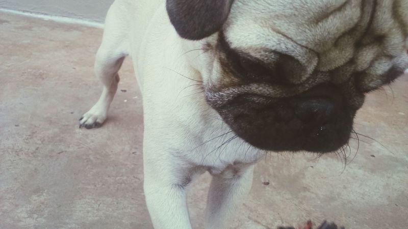 Ilovepugs Pug Life ❤ Mydog♡ Funny