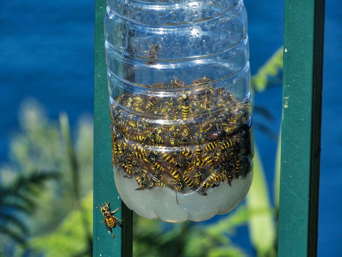 Wasps in a bottle. Wasp Wasps Bee Bees Insect Insects  Bug Bugs Close-up Bottle Transparent Animal Themes Nature Focus On Foreground Glass - Material Food And Drink Container Dead Outdoors Animals Day No People Animal Animal Wildlife