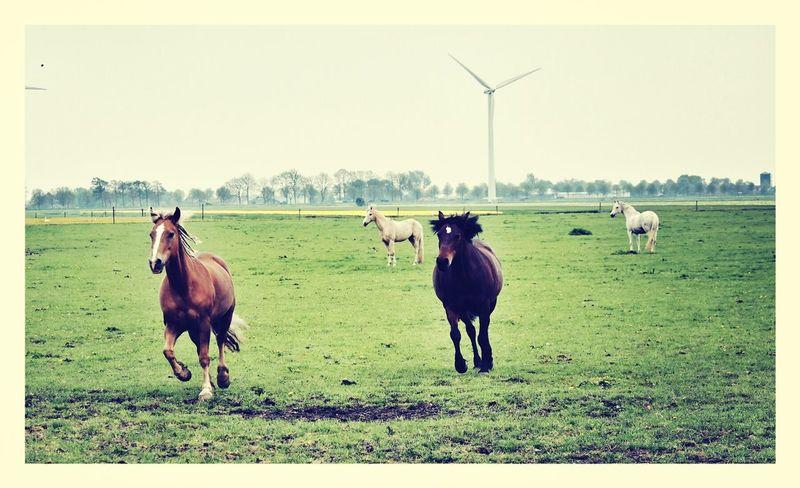 Horse Haflinger Haflo