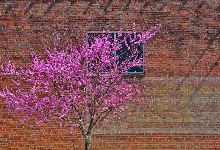 Blossoms and bricks. Check This Out Taking Photos Simple Simple Beauty Nature Nature_collection Brick Brickporn Brick Wall Streamzoofamily Eyeemphotography From My Point Of View Nikon Nikonphotography Nikon D7100 Subtle Beauty Juxtaposition City Urban
