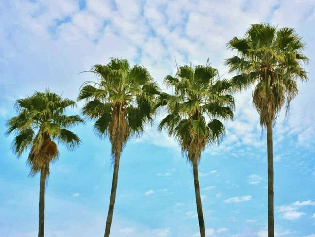 Palm Trees Clearwater Landscape Florida Blue Sky Clouds Epic Earth Epicearthco P7taylor