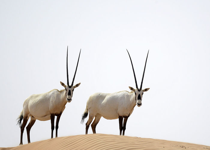 Oryx at the Dubai Desert Conservation Reserve Animal Themes Animals In The Wild Antler Conflict Day Deer Dubai Dubai Desert Dubai Desert Conservation Reserve Fighting Horned Mammal Nature No People Oryx Stag UAE Fresh On Market 2017