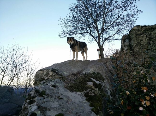 Wolf? Taking Photos Oneplus One Pure And Untouched (raw Image)
