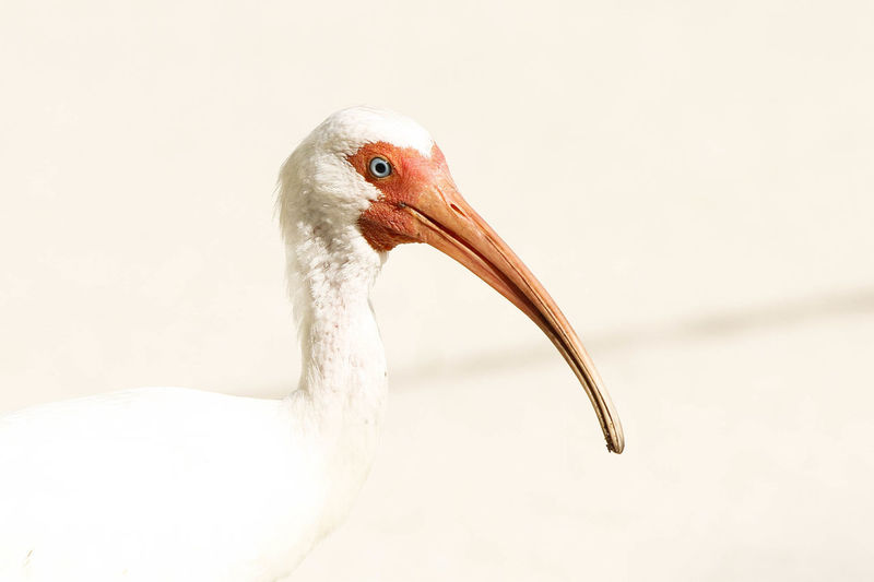 Close-up of ibis
