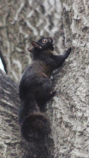 Black Squirrel, Cambridge, MA MIT Campus