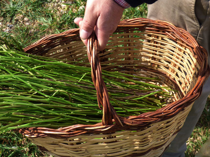 Cropped Image Of Man Harvesting Asparagus