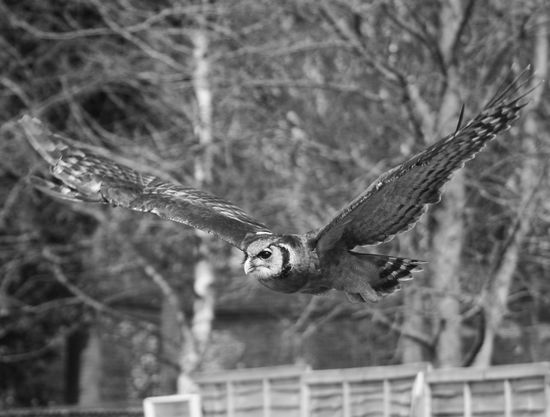 Black And White Black And White Bird Photography Falconry Display Birds In Flight Flying Power In Nature Close Up Wildlife Photography Birds Of EyeEm  Hunter Birds Of Prey Bnw_captures Owl