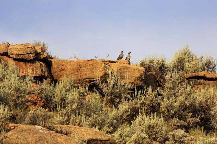 desert quail Sage Brush Gambel's Quail Quail Southern Utah  Utah Desert Landscape Wildlife Bird Photography Bird Sky