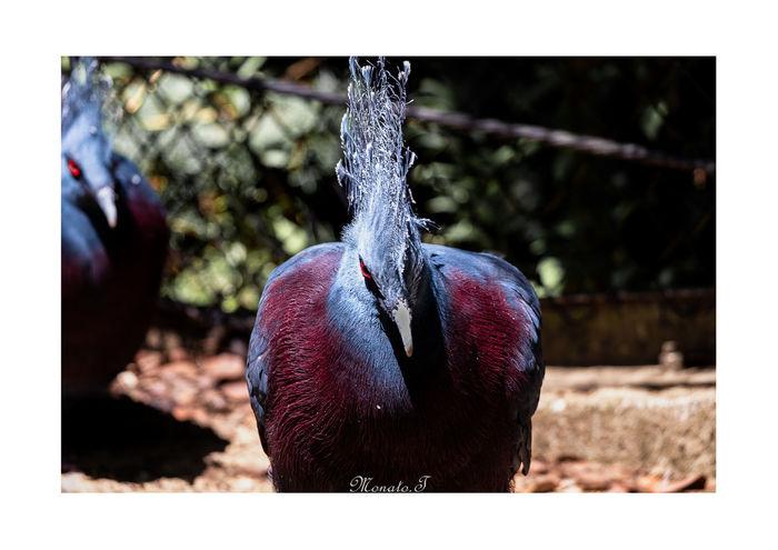Goura victoria.Ⅱ Pentax Photographyislife Animal Folding Fan Redeyes Down Pigeon Birds Close-up