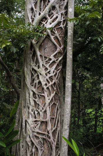 Close-up Complexity Day Green Color Growth Intertwined Nature No People Outdoors Plant Sky Strangler Fig Tree Tree Trunk