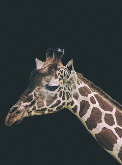 Close-up of giraffe on black background