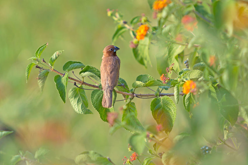 Animal Themes Animal Wildlife Animals In The Wild Beauty In Nature Bird Day Green Color Growth Mauritius Island  Nature No People One Animal Outdoors Perching Plant Sparrow Tree