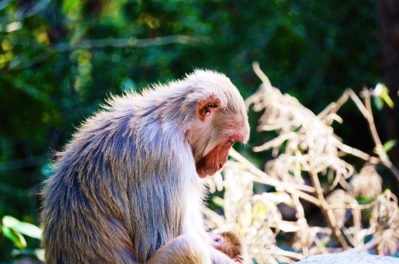 Monkey Monkeys Mother Child