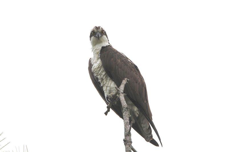 Osprey  Animal