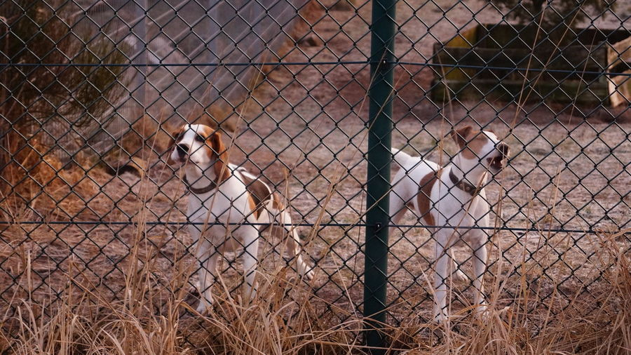 Animal Themes Beagle Dog Fence Outdoors