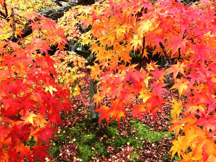 Red Color Japanese Style Autumn Leaf Change Orange Color Nature Beauty In Nature Day Yellow Tree