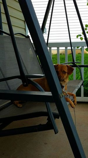Swinging Ruby Swinging Swing Porch Porchswing Pets One Animal Animal Themes Domestic Animals Outdoors Neighborhood Comfort Home Comfortable Garden Photography Ruby DogLove Lovemydog Browndog Brown Green