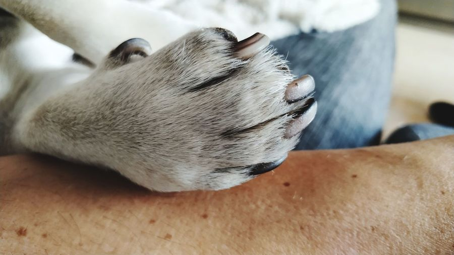 Pata de perro Carlino con uñas de color negro Close-up Animal Body Part