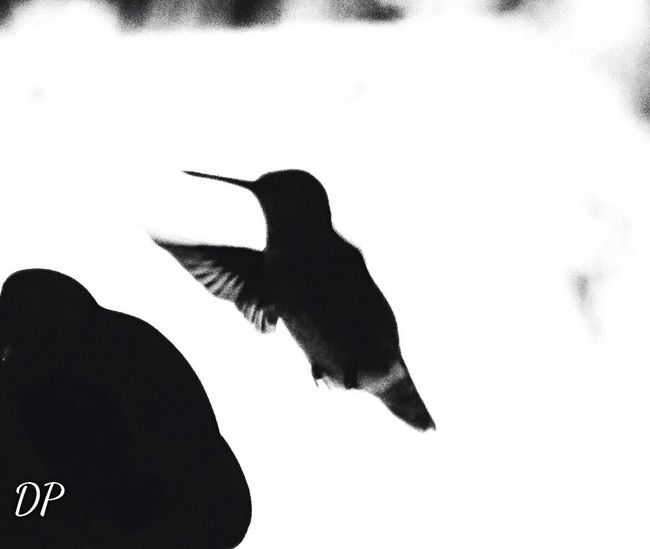 Black And White Friday Hummingbird Silhouette Flying Outdoors Spread Wings Flower