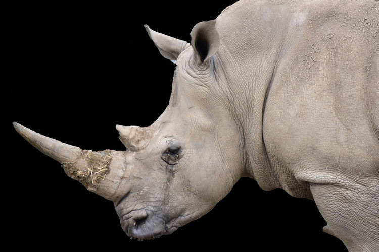 Close-up of rhinoceros over black background