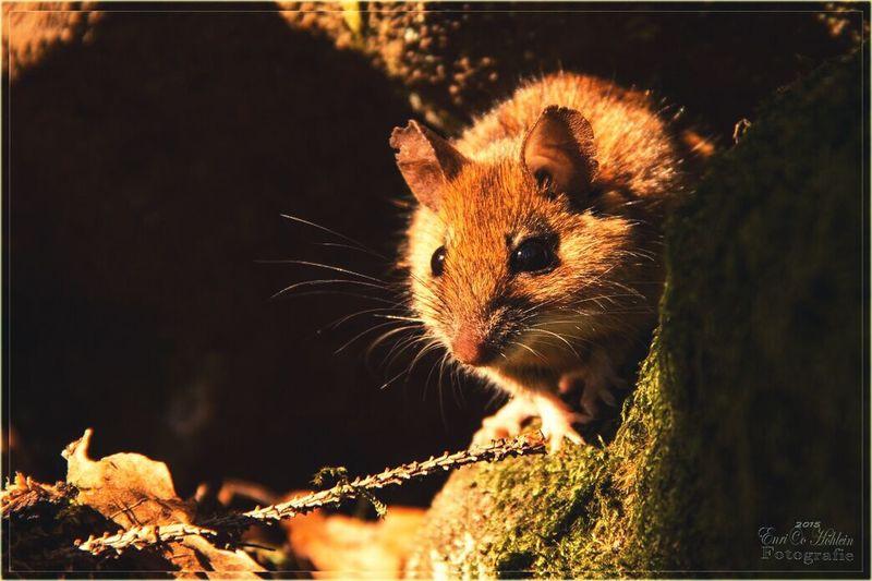 Mouse Cute Nature EyeEm Nature Lover Noestoyenjapón