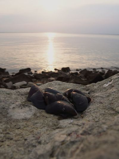 Close-Up Of Seashells On Rock At Beach By Sea Against Sky During Sunset