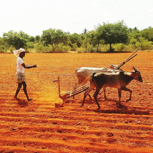 Countryside Glamour Old-Time Ploughing Match Farmer Style Incredible India