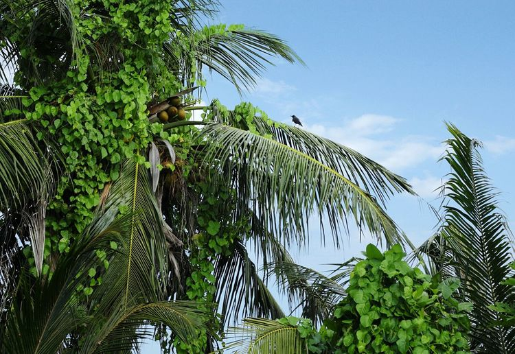 Coconut Tree Palm Trees Garden Maldives Bird Green Nature Leaves