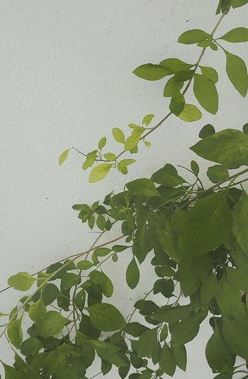 Leaf Nature Ivy Freshness Branch Green Color Tree