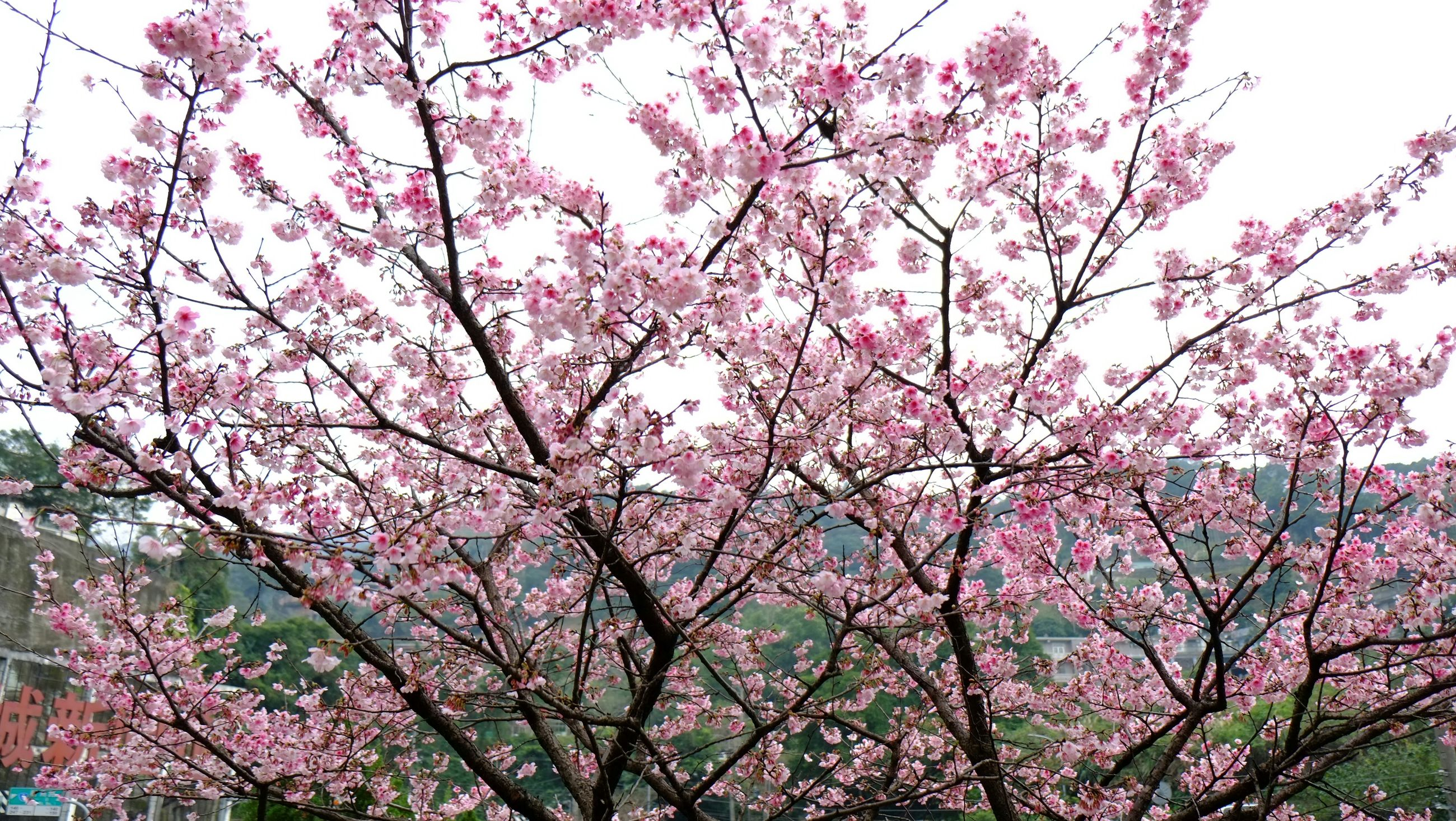 flower, tree, freshness, growth, pink color, branch, beauty in nature, fragility, low angle view, nature, blossom, blooming, in bloom, cherry blossom, sky, springtime, pink, day, clear sky, cherry tree