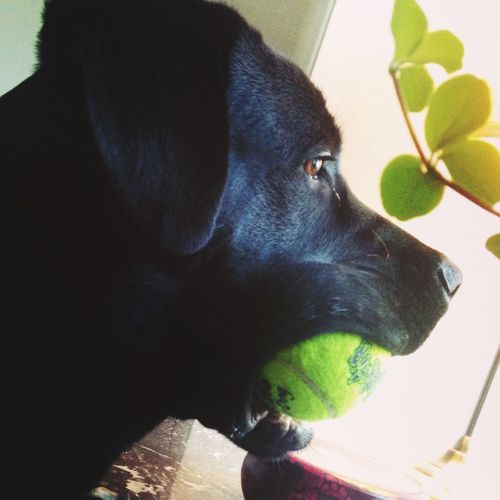 Pets Animal Themes Domestic Animals Mammal Dog Indoors  Tennis Ball Close-up No People Nature Day Portrait