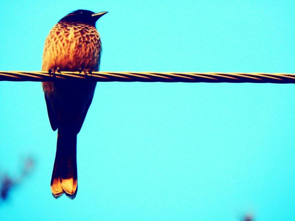 Clear Sky Bird One Animal Copy Space Animal Wildlife Perching Animal Themes No People Outdoors Animals In The Wild Day Low Angle View Myna Sky Wire Winters Bird Watching Birds_collection Birds Of EyeEm  Bird Photography Sunbeam Nature Beauty In Nature Tree Landscape