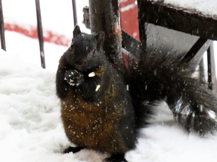 Black squirrel begging for food on the balcony in winter Animal Themes Animal One Animal Snow Winter Cold Temperature Mammal Pets Vertebrate Domestic Nature Domestic Animals No People Dog Canine Black Color Day Animals In The Wild Animal Wildlife Outdoors Snowing Black Squirrel Squirrel Squirrel Closeup Squirrel Photo Squirrel Beggin