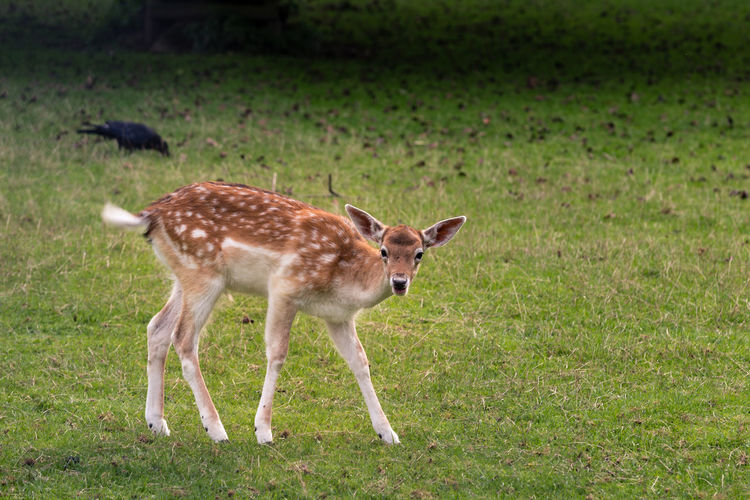 Sika deer Animal Animal Themes Animals Cervus Nippon Deer Japanese Deer Outdoors Sika Deer Sika Deer Spotted Deer Spotted Deer