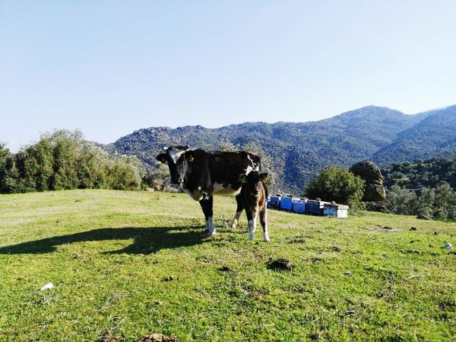 Green Aegean Hills Livestock Cow Mom With Baby Domestic Animals Agriculture Outdoors Nature Day No People Animal Grass