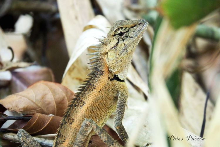 Love these animals and it's so fantastic to experience them live in nature Animal Wildlife No People Outdoors Nature Animals In The Wild Animal Themes Lizard Thailand One Animal Lizard Close Up Khaolak Nationalpark