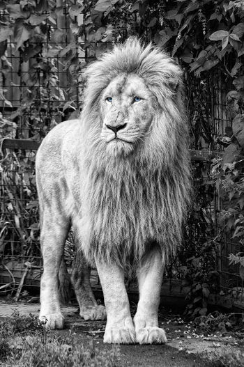 Animals In Captivity Black & White Lion Mammal One Animal Portrait Wildlife Zoology
