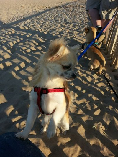 Summer Dogs Dog Walking Beach Chihuahua Dog Sunshine Mablethorpe