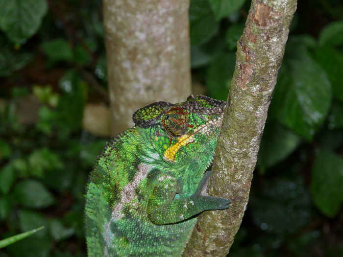 Close-up of chameleon on tree