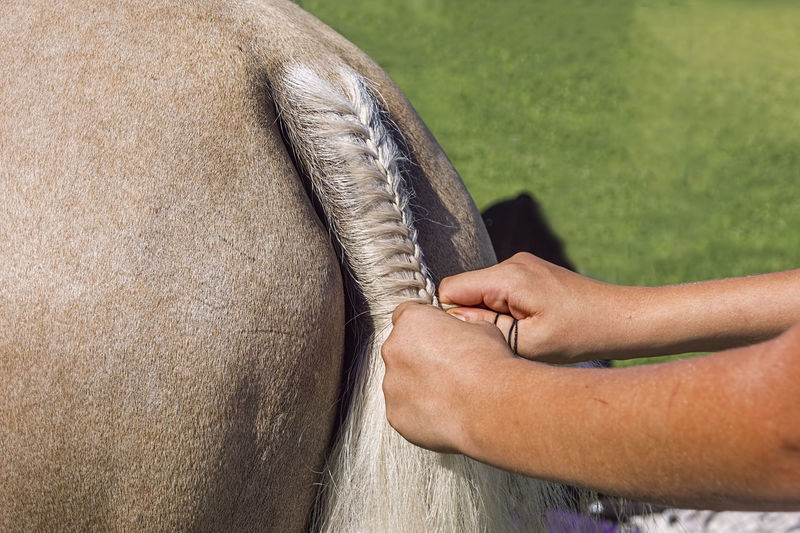 Girls hands plaiting the tail of a pretty light colored horse ready for pony club competition.