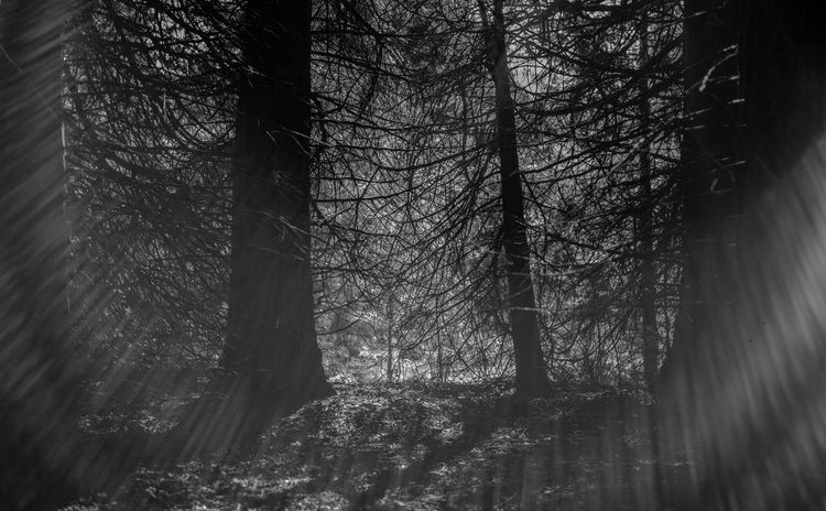 Sun Beam Leica M9 National Park Beauty In Nature Blackandwhite Forest Land Nature Outdoors Plant Sun Tranquil Scene Tree Yosemite Valley The Great Outdoors - 2018 EyeEm Awards EyeEmNewHere Tree Trunk WoodLand No People Branch My Best Travel Photo Holiday Moments Capture Tomorrow