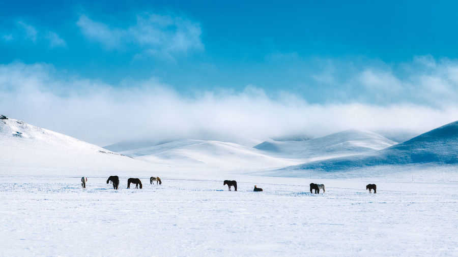 Panoramic view of horses on inner mongolia's snowfield