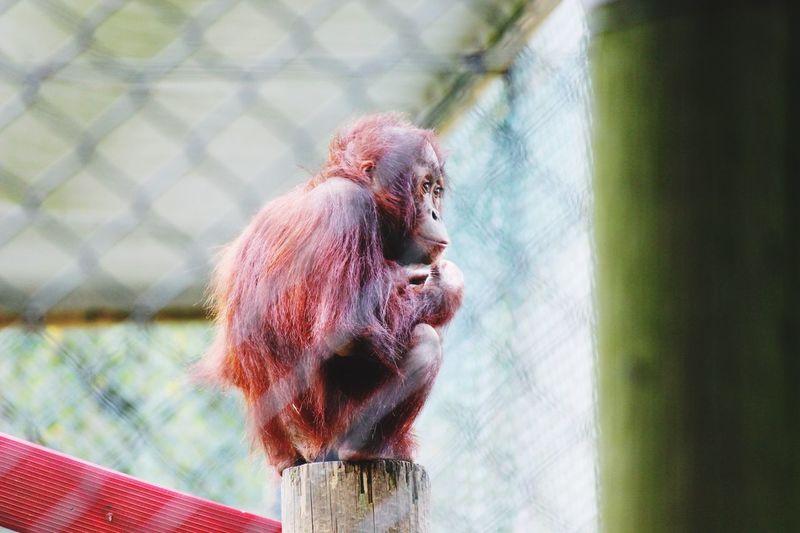 Low angle view of orangutan on wooden post in cage at zoo