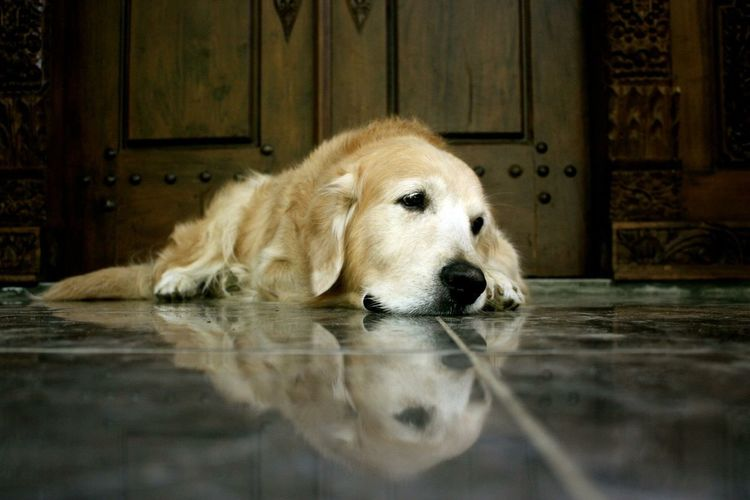 Close-up of dog relaxing on floor