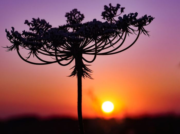 Silhouette of flowering plant against sky during sunset