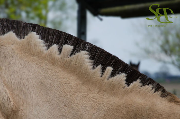 Fjordhorse Outdoors Animal Themes Horse Photography  Horse Tail