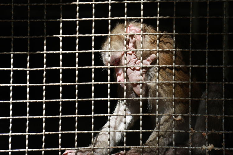 Sad Monkey Zoo Animal Themes Animals In Captivity Bird Cage Caged Close-up Day Domestic Animals Livestock Mammal No People One Animal Outdoors Sad Trapped